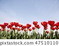 튤립,꽃,식물 47510110