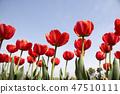 튤립,꽃,식물 47510111