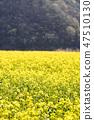 유채,꽃,유채꽃,식물 47510130