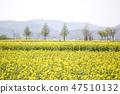 유채,꽃,유채꽃,식물 47510132