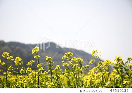유채,꽃,유채꽃,식물 47510135