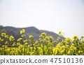 유채,꽃,유채꽃,식물 47510136
