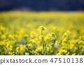 유채,꽃,유채꽃,식물 47510138