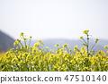 유채,꽃,유채꽃,식물 47510140