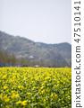 유채,꽃,유채꽃,식물 47510141