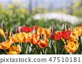 튤립,꽃,식물 47510181