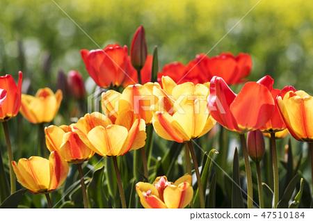 튤립,꽃,식물 47510184