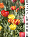 튤립,꽃,식물 47510186