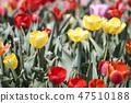 튤립,꽃,식물 47510188