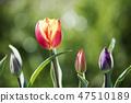 튤립,꽃,식물 47510189