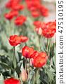 튤립,꽃,식물 47510195