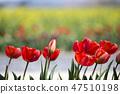 튤립,꽃,식물 47510198