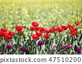튤립,꽃,식물 47510200