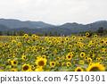 해바라기,꽃,식물 47510301