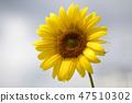 해바라기,꽃,식물 47510302