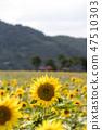 해바라기,꽃,식물 47510303