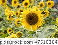 해바라기,꽃,식물 47510304