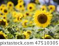 해바라기,꽃,식물 47510305
