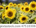 해바라기,꽃,식물 47510306