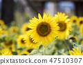 해바라기,꽃,식물 47510307