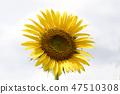 해바라기,꽃,식물 47510308