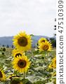 해바라기,꽃,식물 47510309