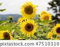 해바라기,꽃,식물 47510310