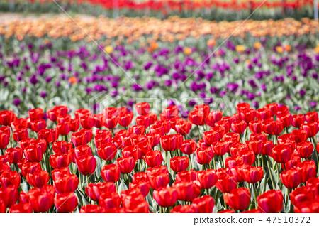 튤립,꽃,식물 47510372