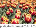 튤립,꽃,식물 47510375