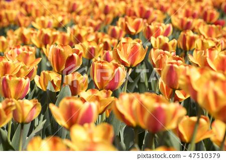 튤립,꽃,식물 47510379