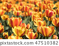 튤립,꽃,식물 47510382