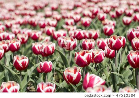 튤립,꽃,식물 47510384