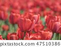 튤립,꽃,식물 47510386
