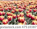 튤립,꽃,식물 47510387