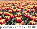 튤립,꽃,식물 47510389