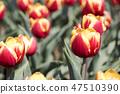 튤립,꽃,식물 47510390
