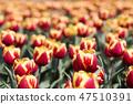 튤립,꽃,식물 47510391