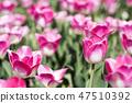 튤립,꽃,식물 47510392