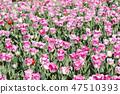튤립,꽃,식물 47510393