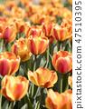튤립,꽃,식물 47510395