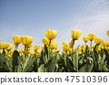 튤립,꽃,식물 47510396