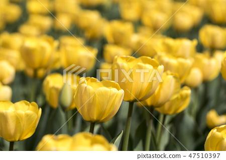 튤립,꽃,식물 47510397