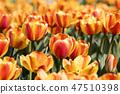 튤립,꽃,식물 47510398