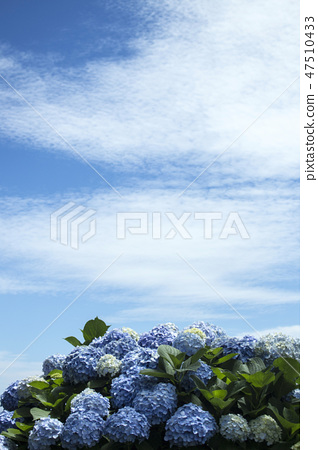 수국,꽃,식물 47510433