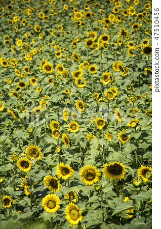 해바라기,꽃,식물 47510456