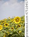 해바라기,꽃,식물 47510457