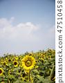 해바라기,꽃,식물 47510458