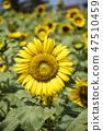 해바라기,꽃,식물 47510459