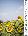 해바라기,꽃,식물 47510460