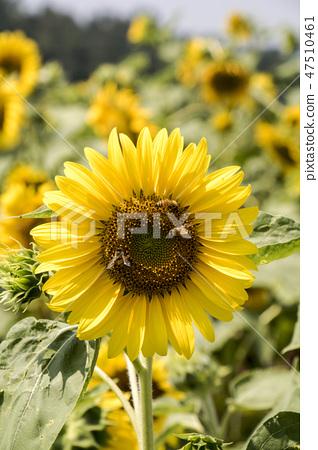 해바라기,꽃,식물 47510461